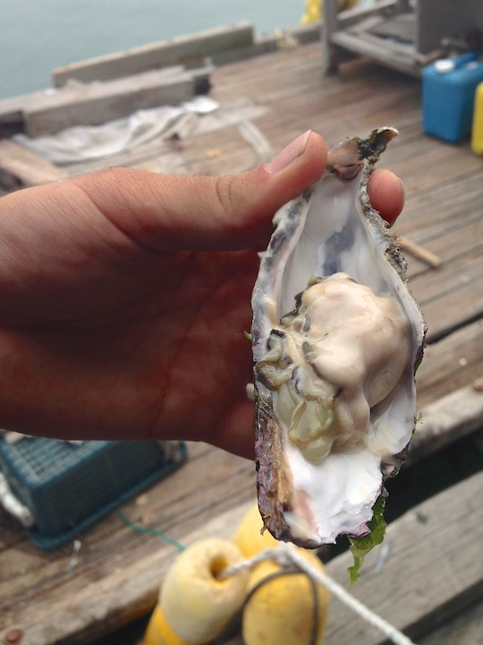 Raw South Korea oysters