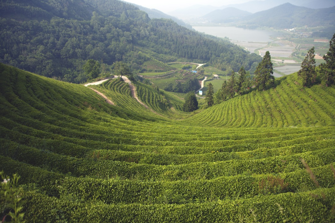 Green Tea Valley