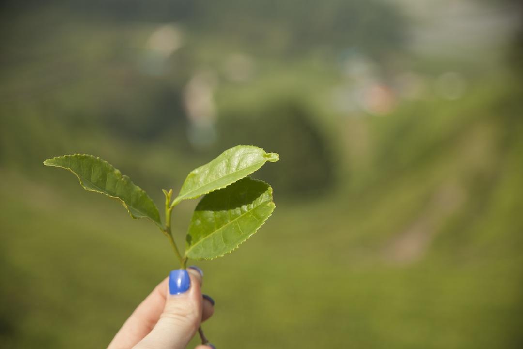 Green Tea, South Korea