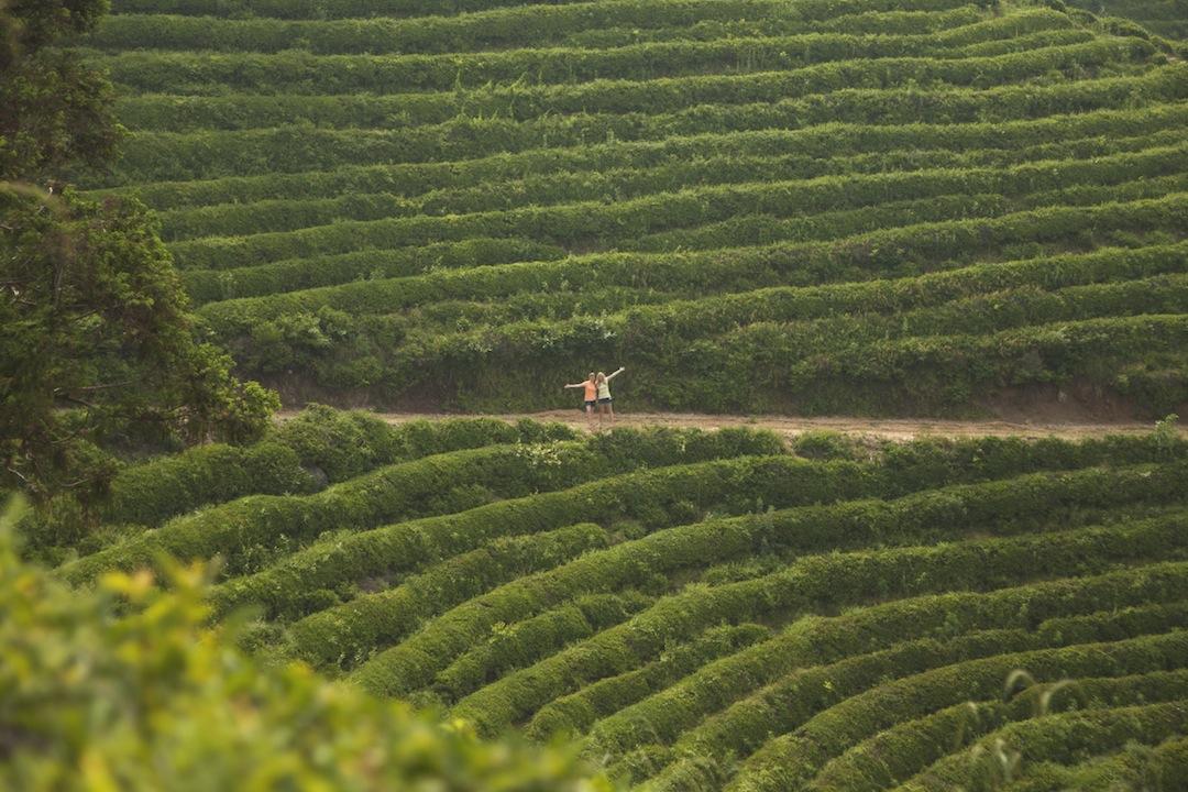 Green Tea, South Korea, Boseong