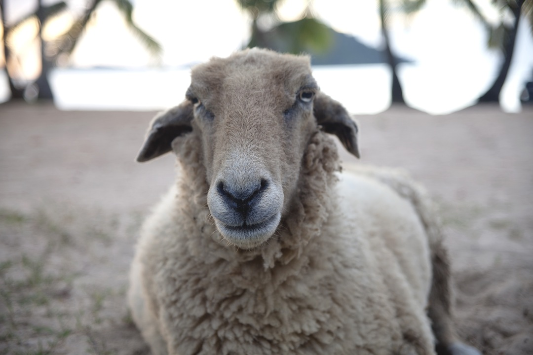 A pet sheep in Borneo