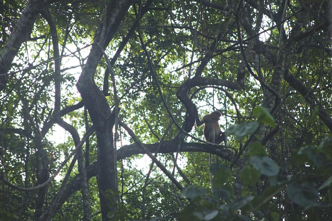 Proboscis Monkey (Long-nosed Monkey) in the wild