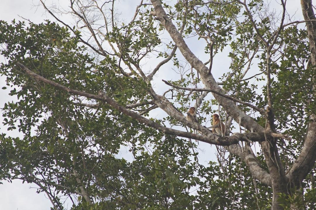 Borneo River Cruise - Proboscis Monkey