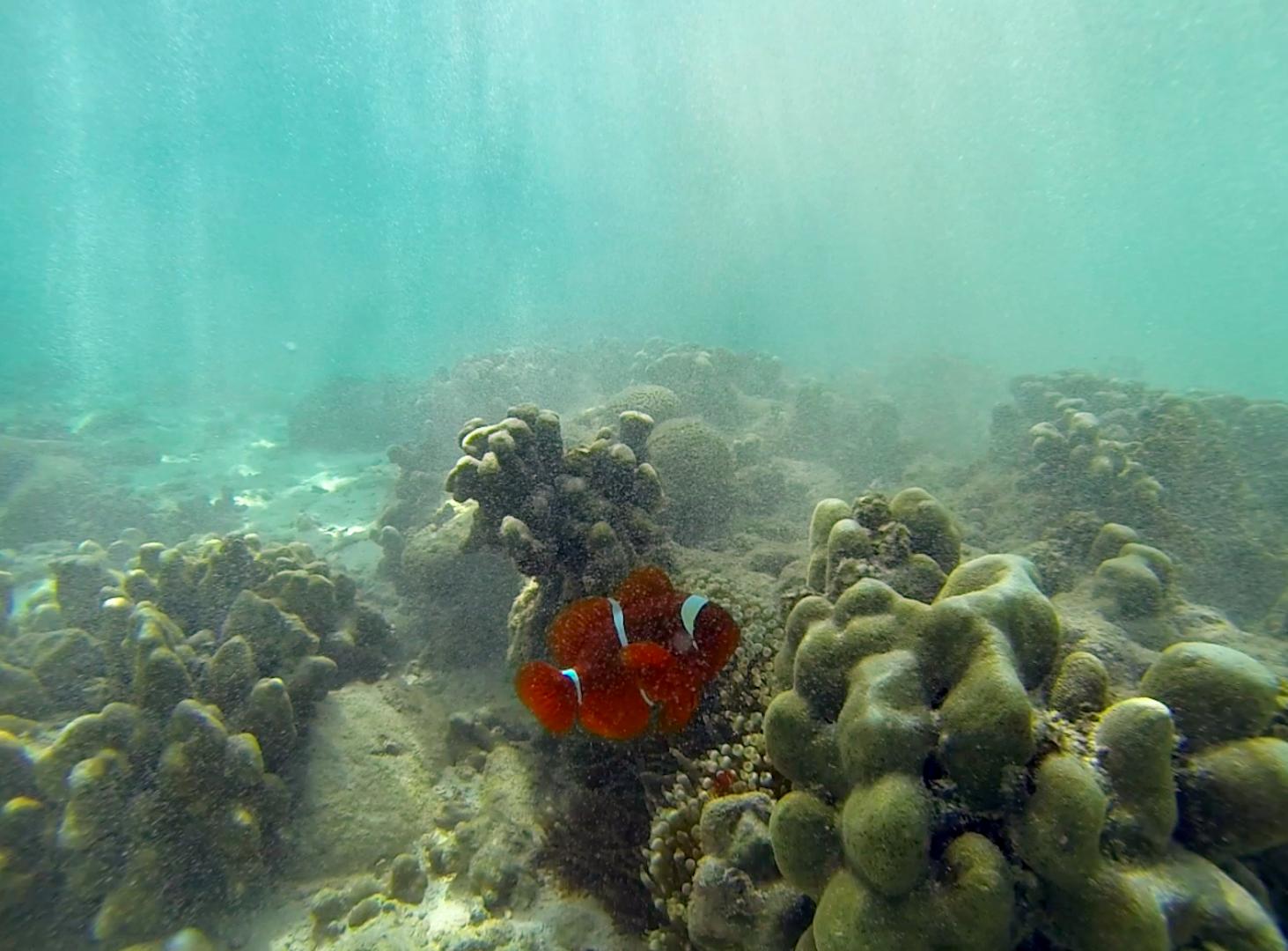 Clownfish Borneo