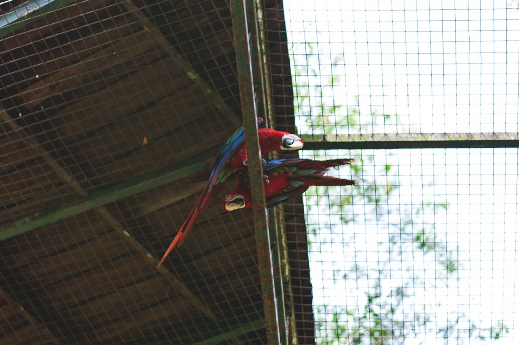 Red Macaws