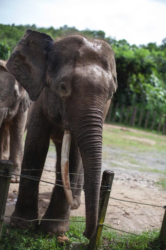 Pygmy Elephants, native to Borneo, Malaysia