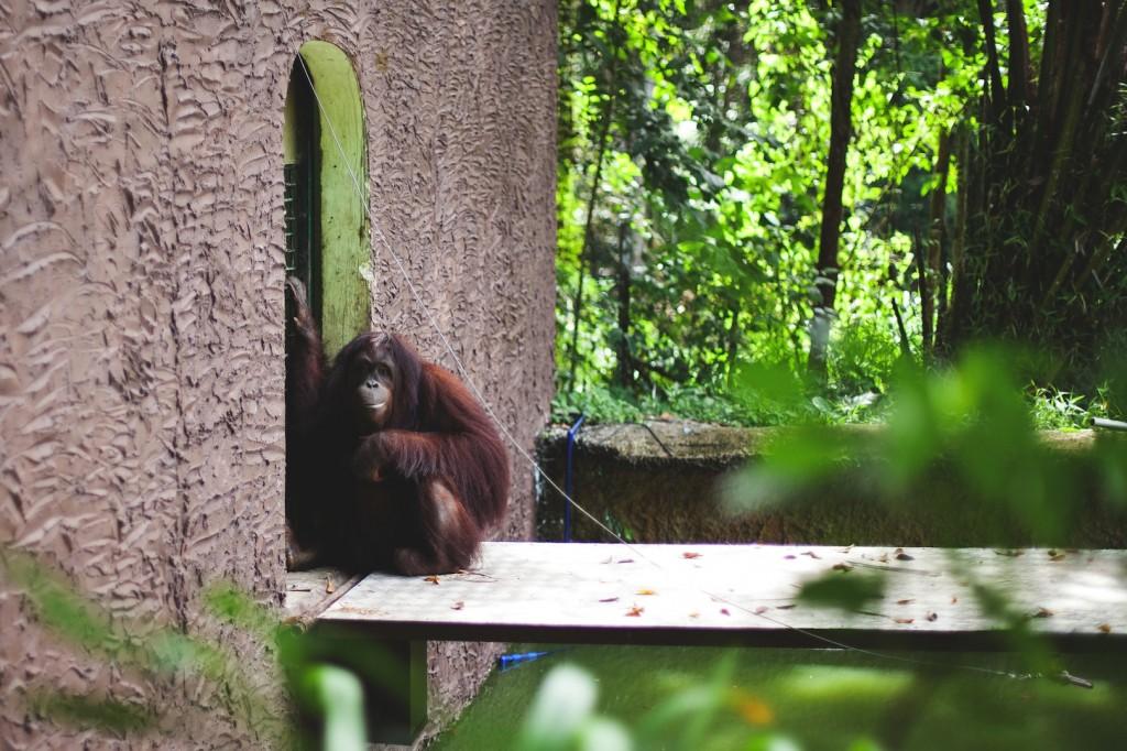 Orangutan at Lok Kawi Wildlife Park