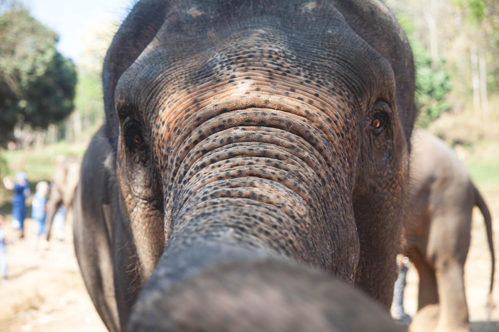 Elephant Face, Baan Chang Elephant Park, Chiang Mai, Thailand