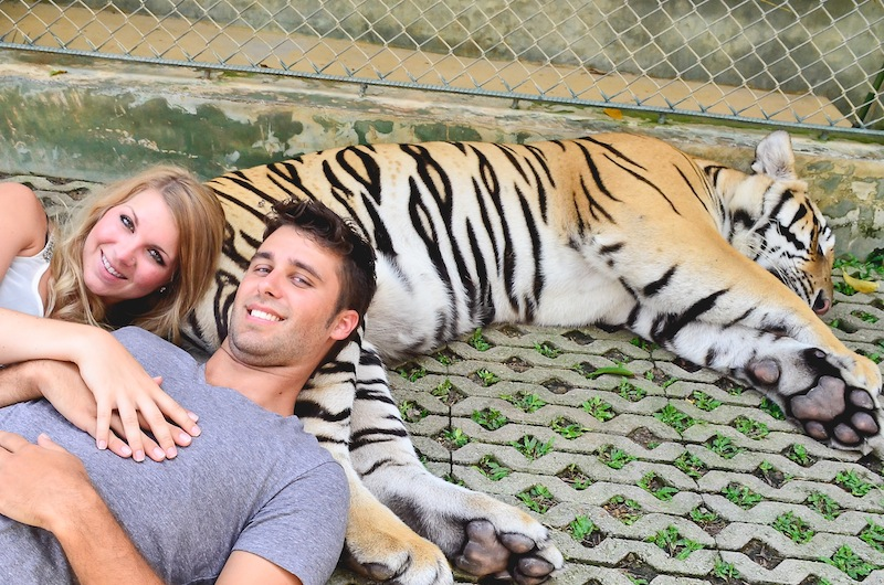 Tiger Kingdom Phuket (biggest tiger)