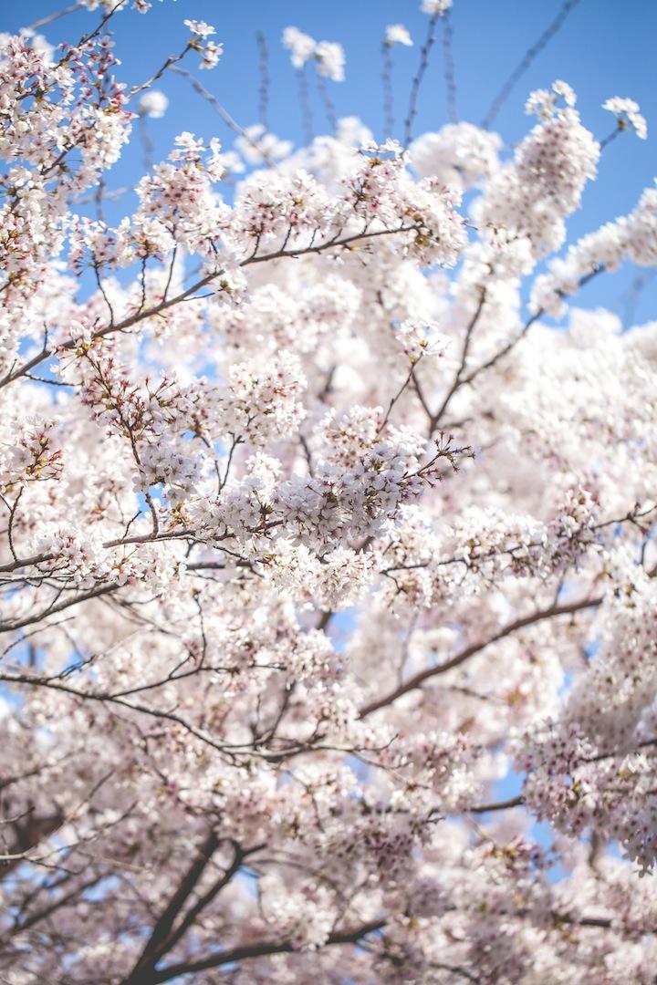 Cherry Blossoms, Geoje, South Korea