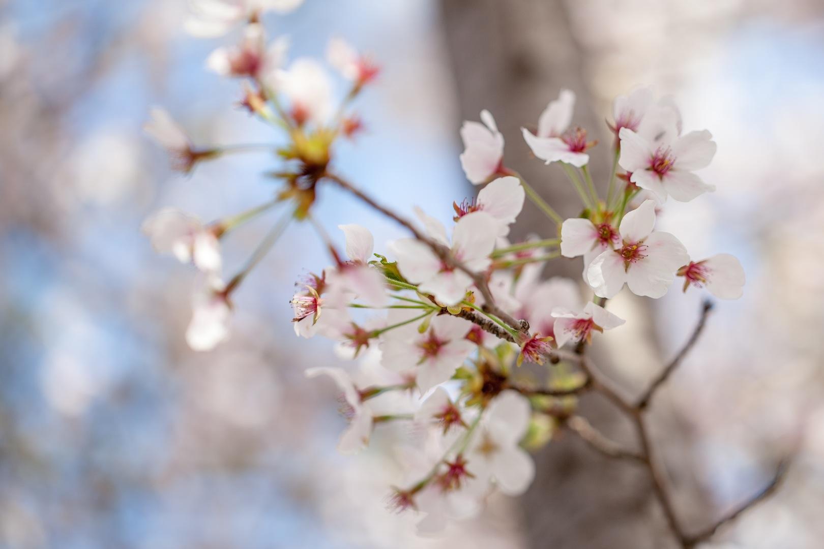 (Cherry Blossom) Springtime in Geoje, South Korea