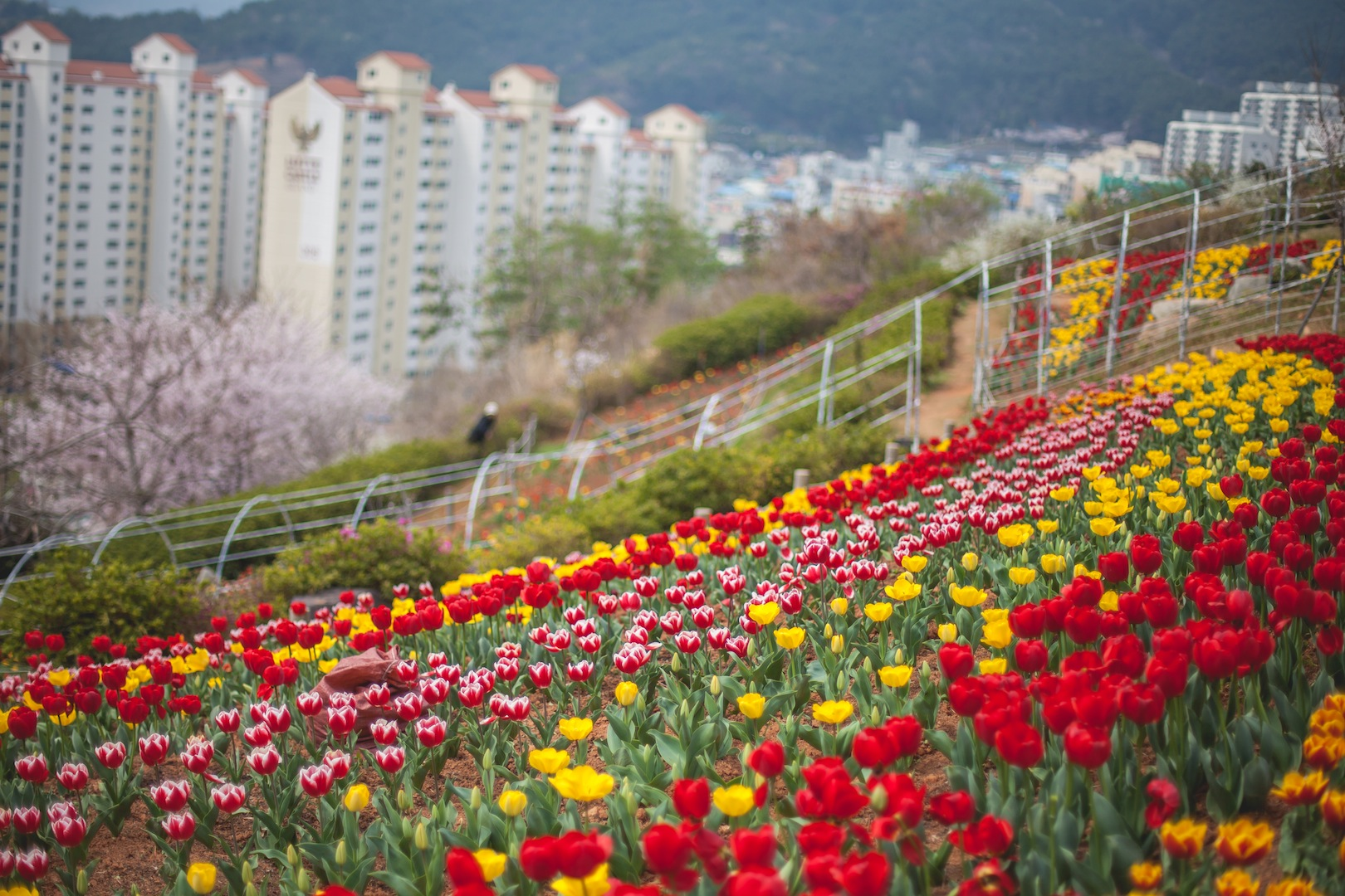 (Tulip Fields) Springtime in Geoje, South Korea