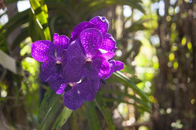 Orchids in Phuket Garden