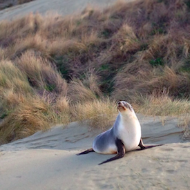 Sea lion at Sandfly Bay
