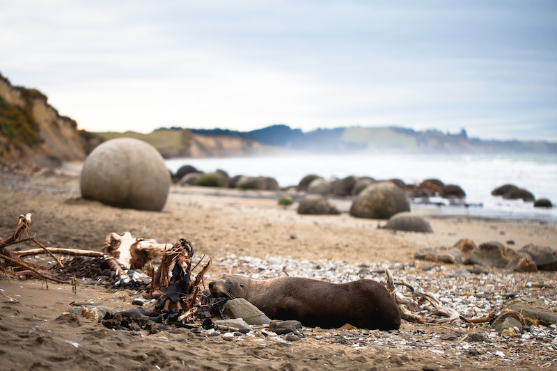 Sea Lion in Moeraki