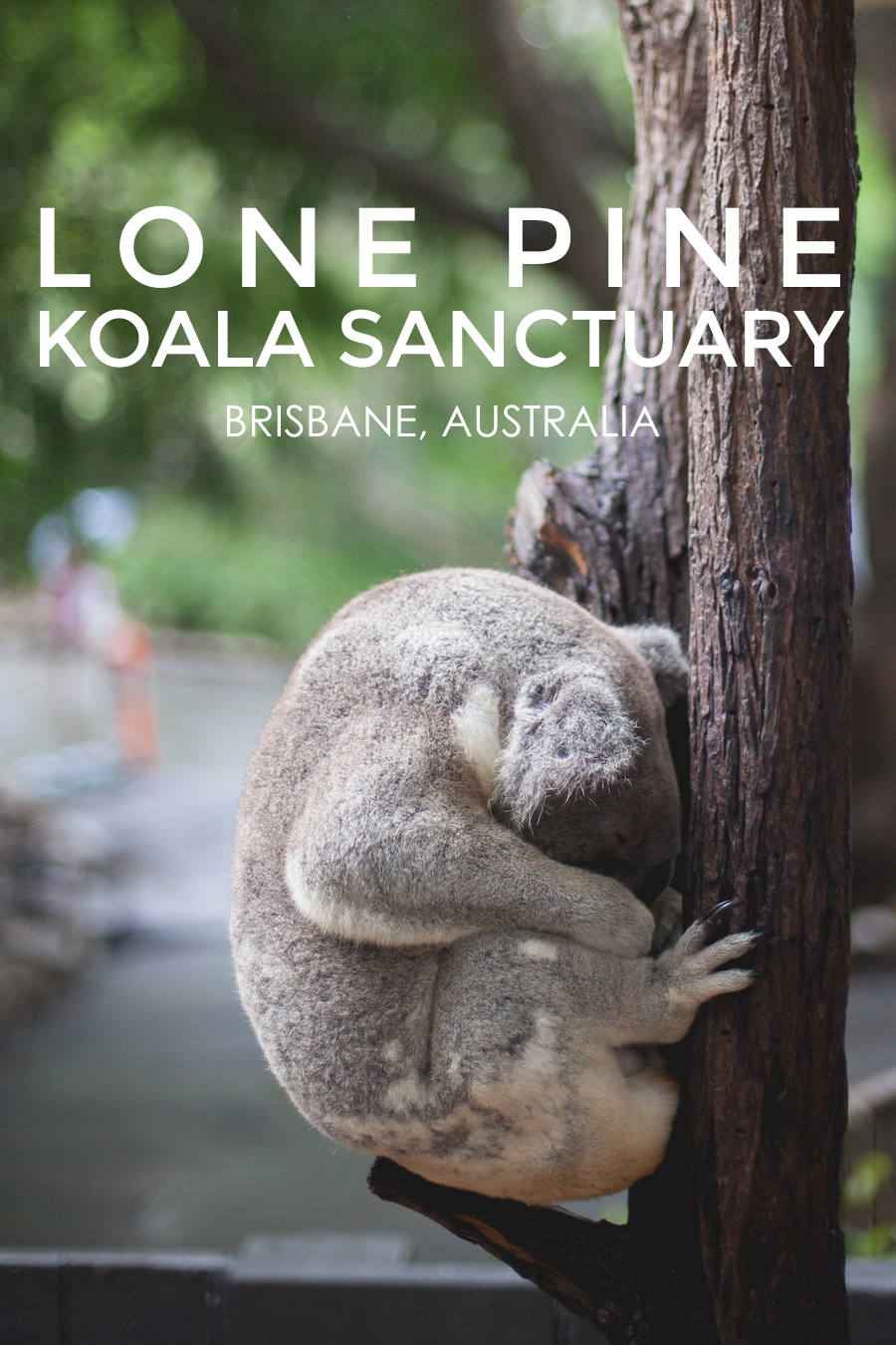 Lone Pine Koala Sanctuary Living In Another Language