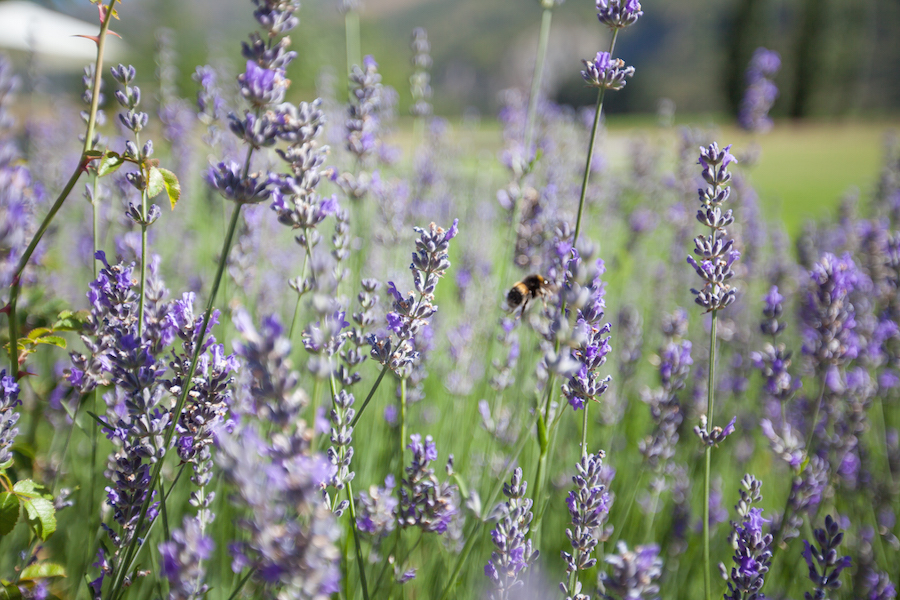Waitiri Creek Wines-Lavender