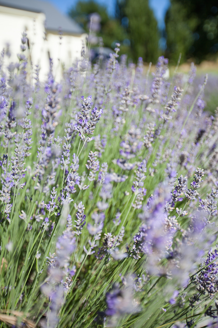 Waitiri Creek Wines-Lavender