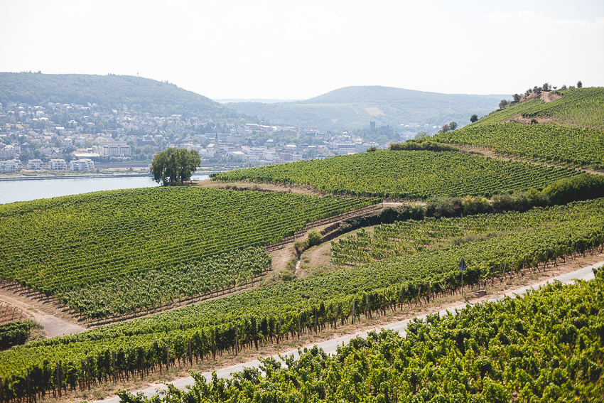 Rhine River Vineyards