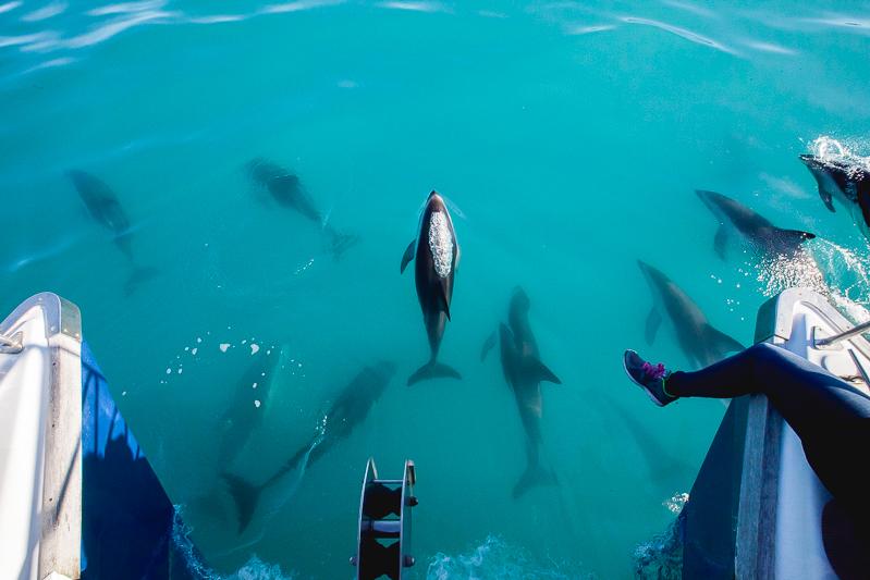 Kaikouradolphins-12