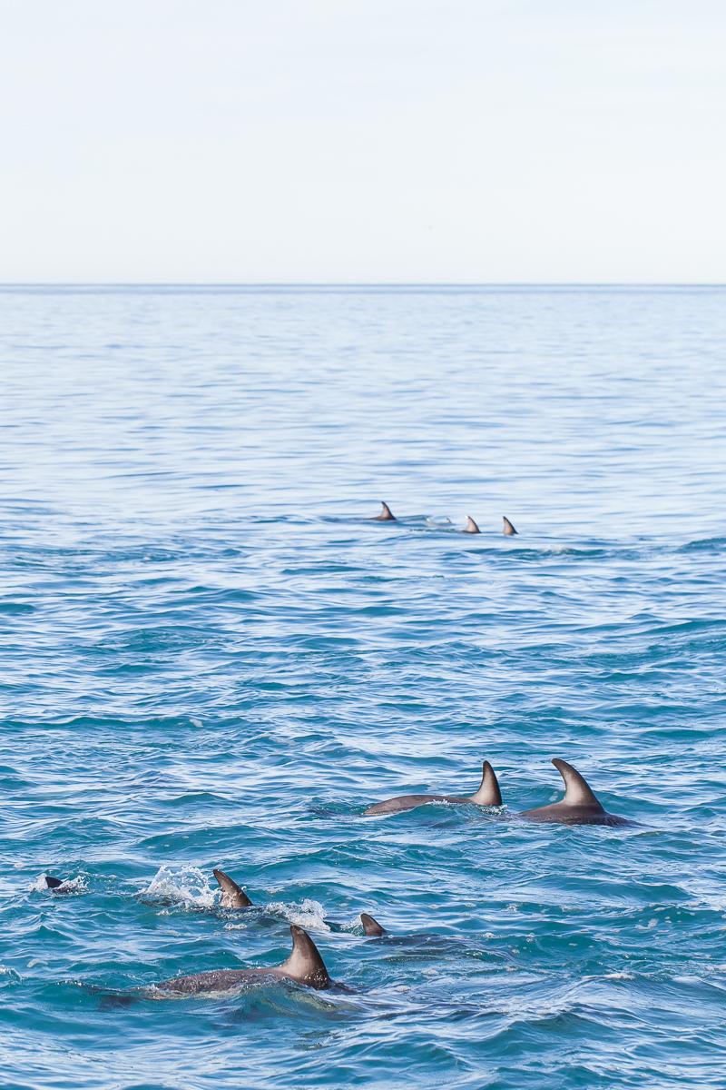 Kaikouradolphins